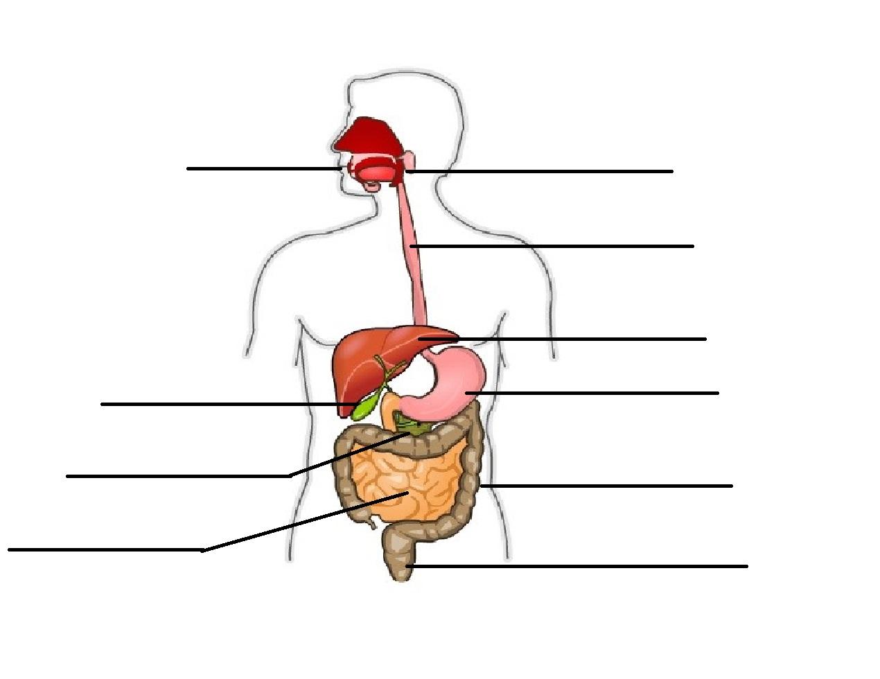 Esquema Del Aparato Digestivo Humano Imagui Aparato
